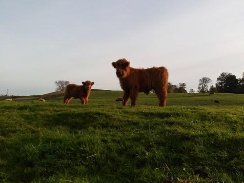 De jolies vaches dans le North York Moors National Park, en Angleterre