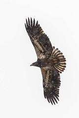 BALD EAGLE at MIDDLE FORK RESERVOIR (nsxbirder) Tags: baldeagle haliaeetusleucocephalus immature richmond indiana middleforkreservoir waynecounty