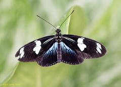 Doris Longwing (Kate M Gray) Tags: canon butterfly butterflies dorislongwing kategray rhswisleygardens butterfliesintheglasshouse