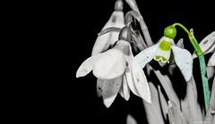 B&W Snowdrops (@Dpalichorov) Tags: blackandwhite bw white black flower color macro monochrome grass blackbackground nikon background snowdrops splash bandw makro colorsplash nikond3200 d3200