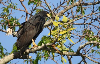 Gavião-preto | Great Black-Hawk (Urubitinga urubitinga)