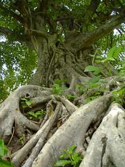 20040917-09170035 (Sebastian Vazquez (svbtato@arrakis.es)) Tags: naturaleza flora viajes thailandia