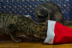 Cercando il Natale... (daniele_brunello) Tags: christmas xmas cats cat natale gatto gatti animali curiosit