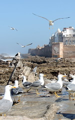 essaouira seagulls (1) (kexi) Tags: africa blue sky seagulls birds vertical canon march flying rocks many morocco maroc essaouira 2015 maroko instantfave