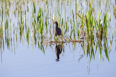 20160204-_74P5052.jpg (Lake Worth) Tags: bird nature birds animal animals canon wings florida wildlife feathers wetlands everglades waterbirds southflorida birdwatcher canonef500mmf4lisiiusm