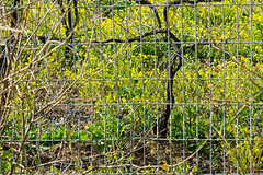 Vineyard through a fence (Poupetta) Tags: fence israel vineyard