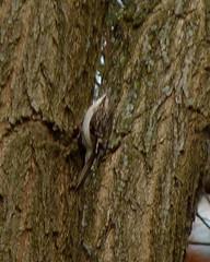 Brown Creeper (Dendroica cerulea) Tags: winter birds newjersey nj aves creeper mercercounty trenton browncreeper certhiaamericana certhia passeriformes certhiidae passeri certhioidea psittacopasserae eufalconimorphae trentonsewerutility