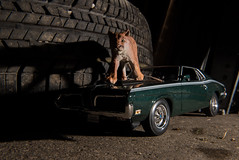 Cougar (chrishowardphotography.com) Tags: cougar cougarcat cougareliminator