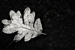 Space Traveler (Alvin Harp) Tags: autumn blackandwhite abstract macro fall monochrome leaves mono leaf fe february 2016 leafart macrounlimited teamsony sonyilce7rm2 fe2890macrogoss alvinharp