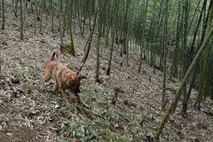 Tigger Playing 2 (Bob Hawley) Tags: pets playing dogs forest outdoors sticks asia farming taiwan bamboo agriculture nantoucounty nikon1755f28 xiaobantian nikond7100 taiwantugou