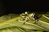 A lichen katydid nymph Trachyzulpha sp. (Pasha Kirillov) Tags: sumatra indonesia orthoptera tettigoniidae kedah gunungleuser taxonomy:order=orthoptera geo:country=indonesia lichenkatydid trachyzulpha