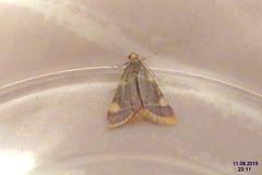 Gold triangle (NH266 kit) (davidshort) Tags: moths 2015 goldtriangle hypsopygiacostalis zavíječsenomilný vijačkasenová szénailonca trionglaur zavíječžlutoskvrnný