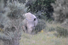 Rhino bush (mcgprm1000) Tags: africa wild white nature southafrica safari rhino horn charge rhinoceros fynbos whiterhino fromtheshadowsicome