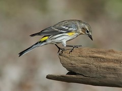 Yellow-rumped Warbler (AllHarts) Tags: ngc npc memphistn yellowrumpedwarbler flickerites backyardbirds naturescarousel