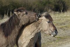 20150307_konikpaarden (Edwin Pijpers) Tags: natuur peter zeewolde hasse konikpaarden jinte destillekern