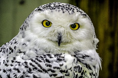 Female Snowy Owl Portrait (C. P. Ewing) Tags: white black bird nature outdoors natural outdoor snowy owl spotted owls bitds