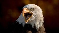 """Bawler """"Tonka"""" (Saarblitz (Offline for a few days)) Tags: white eagle outdoor adler bald tonka tier vogel schrfentiefe greifvogel schreihals weiskopfseeadler bawler"""
