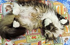 "Il giorno del gatto/Catturday 🐱😎 (Gonz@k ""The crazy cat"") Tags: cat relax chat mainecoon gatto catday kissablekat kissablecats"