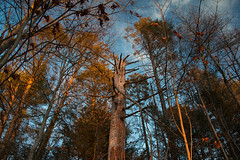 Old Growth at Sunset (Joyce and Steve) Tags: light sunset sky nature forest spring hudsonvalley polarization canoneos70d