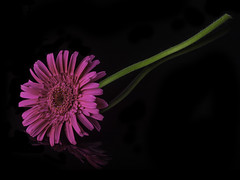 Reflecting On A Pink Gebera Daisy (Bill Gracey) Tags: pink flower color reflection fleur blackbackground colorful flor softbox sidelighting geberadaisy macrolens homestudio filllight offcameraflash tabletopphotography platinumheartaward blackperspex yongnuorf603n yn560iii