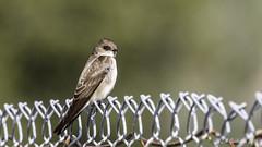Northern Rough-winged Swallow (Bob Gunderson) Tags: california birds northerncalifornia southbay swallows santaclaracounty northernroughwingedswallow stelgidopteryxserripennis coyotelakecountypark