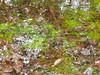 Sphagnum (Mullica) Tags: park new nature water leaves pine moss woods nj wetlands jersey pinelands barrens bog parvin sphagnum