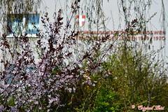 DSC_7423 (Original Loisi) Tags: vienna wien flowers flower nature austria sterreich spring natur blumen blume vienne springtime autriche frhling blten blumenwiese hirschstetten blumengarten frhlingserwachen frhlingsgefhle blumenwiesen blumengrten blumengrtenhirschstetten wienhirschstetten blumengrtenwienhirschstetten