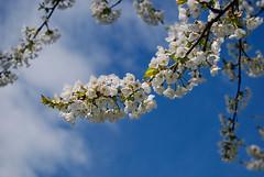 Spring (Sareni) Tags: blue light sky white colors clouds spring branches slovenia slovenija aprile mb maribor twop prolece boje 2011 svetlost granje sareni