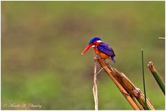 The Colourful One! (MAC's Wild Pixels) Tags: kenya ngc npc kingfisher malachitekingfisher lakenaivasha greatriftvalley beautifulbird colourfulbird birdsofeastafrica elsamerenaivashaconservationcentre macswildpixels colourfulfisher