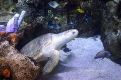Ridley sea turtle (Chief Bwana) Tags: california ca aquarium longbeach marinebiology seaturtle navigation aquariumofthepacific ridleyseaturtle kempsridleyseaturtle psa104 chiefbwana