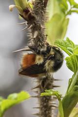 Early Bee (_32_2463) ([Rossco]:[www.rgstrachan.com]) Tags: canada vancouver britishcolumbia bee lionsgatebridge prospectpoint