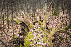 Tree trunk located in the forest (typographics2010) Tags: wood old autumn winter light brown plant tree green nature leaves forest landscape moss branch gloomy natural background empty roots large ground growth bark hedge trunk environment root treestump rots
