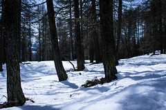 in the cold woods (_Raven80_) Tags: mountain snow neve montagna valledaosta aostavalley saintbarthelemy