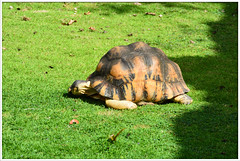 Tortue (gillyan9) Tags: tortue carapace