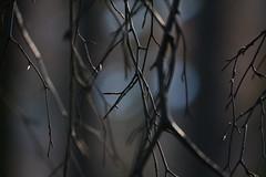 sadness or late winter? (kalakeli) Tags: light dark sadness licht pflanzen ste twigs dunkel solemn trauer rieselfeldermnster