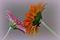 Flowers (Created by M) Tags: flower daisies gerberdaisies