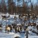 Vladimir trouxe as renas novamente para o acampamento