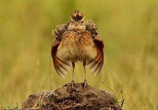 Rufous-naped Lark - Alouette à nuque rousse