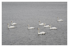 AR169585-B (-AR-) Tags: water swan swans spui muteswan cygnusolor zwaan zwanen knobbelzwaan voorneputten