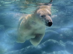 leasurely swim (ucumari photography) Tags: ucumariphotography anana polarbear ursusmaritimus oso bear animal mammal nc north carolina zoo osopolar ourspolaire oursblanc eisbär ísbjörn orsopolare полярныймедведь specanimal april 2016 dsc6377 北極熊