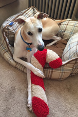 It's Not Christmas (DiamondBonz) Tags: dog cane candy hound whippet spanky dogchal