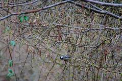 17042016DSC_0068-2.jpg (Ignacio Javier ( Nacho)) Tags: espaa flickr aves es cantabria facebook naturea faunayflora campoolosvalles