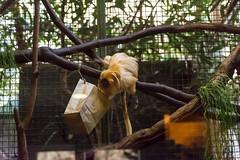 20160113-104312_WashingtonDC_D7100_1130.jpg (Foster's Lightroom) Tags: washingtondc smithsonian us washington districtofcolumbia unitedstates northamerica museums zoos primates goldenliontamarin tamarins smithsoniannationalzoologicalpark us20152016