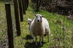Peekabo I see Ewe (dalerose1) Tags: wales sheep pentax lamb k3 ewe