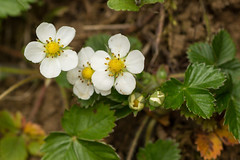 Wild strawberry flowers (Graham Dash) Tags: macro nt strawberries wildflowers nationaltrust wildstrawberries winkworth winkwortharboretum fragariavesca tamron90mm28macro