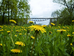The Place where Dandelions Bloom (Alex Demich) Tags: bridge flowers trees wild sky plants flower macro green nature grass yellow clouds forest landscape countryside spring dale cloudy outdoor wildlife details meadow rail railway bloom wilderness dendelion dendelions