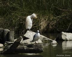 _DSC0372 (chris30300) Tags: france heron de pont parc oiseau camargue gau saintesmariesdelamer flamant provencealpesctedazur ornithologique