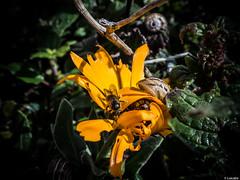 Alla abajo 3 (Luicabe) Tags: naturaleza planta animal de exterior ngc flor luis abeja aire libre zamora caracol cabello insecto profundidaddecampo macrofotografa molusco gasterpodo yarat1 enazamorado luicabe