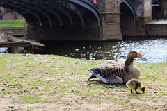 Duck & duckie (Katrinitsa) Tags: york city uk greatbritain family england nature colors canon river countryside duck cityscape arch riverside unitedkingdom britain country mother relaxing ducks british motherhood ouse duckie