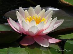 water lily ( Graa Vargas ) Tags: flower waterlily explore spia nenfar 498 graavargas nymphaeacaerulea lriodgua 2016graavargasallrightsreserved apr12016